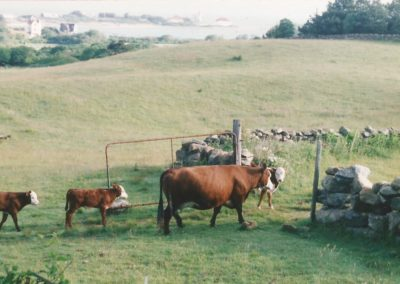 Champlin Farm Cows