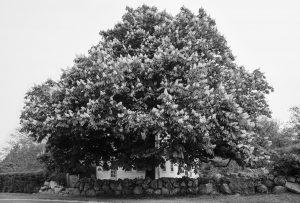 Sarah Bird, Dickens-Mott Chestnut